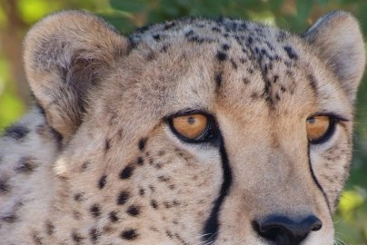 Volontariato in Sudafrica con Cheetah Outreach