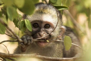 Volontariato in Sudafrica con Vervet Monkey Foundation